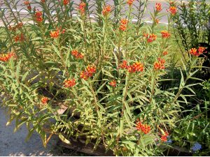 BAD MILKWEED: Tropical milkweed stays green year-round and has colorful flowers -- usually red, orange and yellow. Because milkweed caterpillars can constantly feed on it, the monarchs will not migrate which leaves them exposed to a parasite.