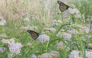 GOOD MILKWEED: Monarchs are drawn to this native milkweed -- Asclepias fascicularis, and will lay eggs on it. The caterpillars that hatch will eat the milkweed, stripping it bare and leaving nothing but sticks. It goes dormant but grows back each year.
