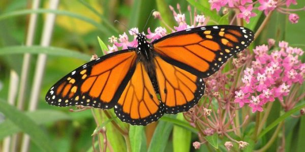 Monarch-Butterfly-680x340