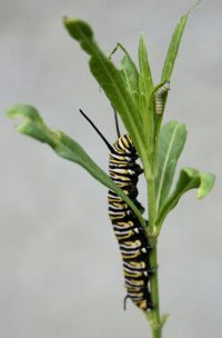 Monarch caterpillars chomp away on native milkweed.